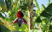 Cây chuối hột rừng chữa trị tiểu đường có tốt không?