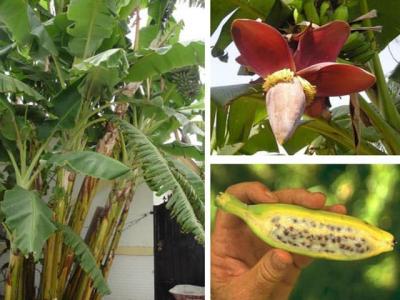 Cây giống chuối hột - Cách trồng chăm sóc chuối hột