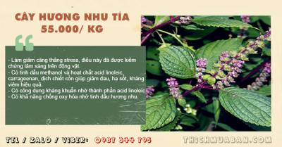 Cây Hương Nhu Tía Khô